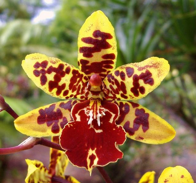 orchidée cambria jaune