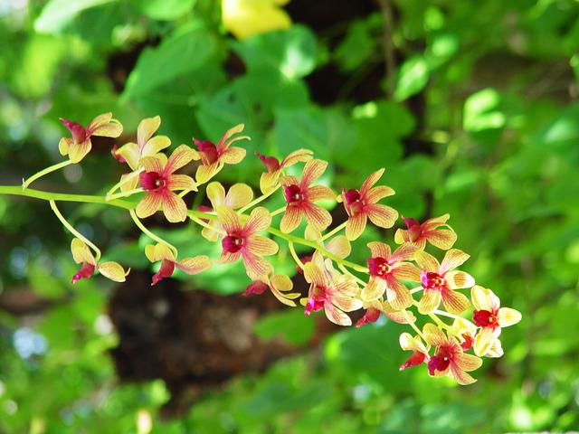 orchidee-dendrobium