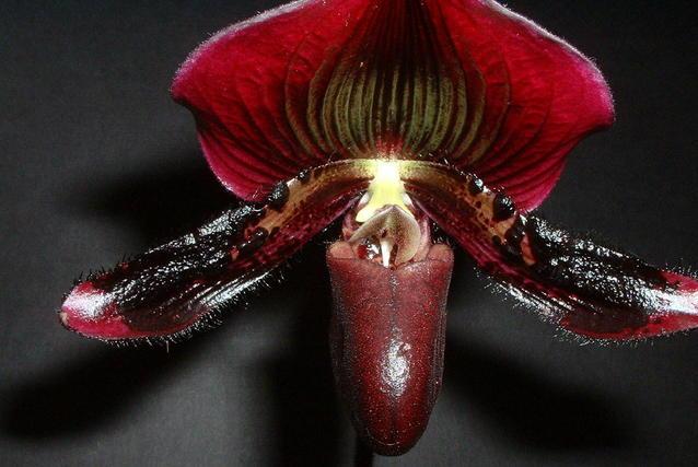 orchidée noire