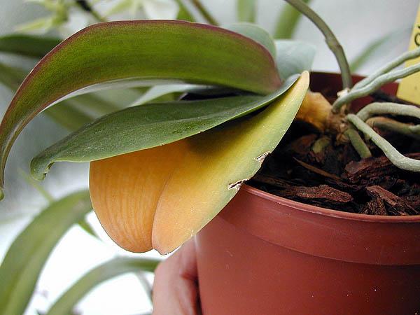 orchidée qui fane