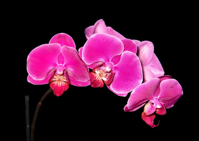 orchidee-rose