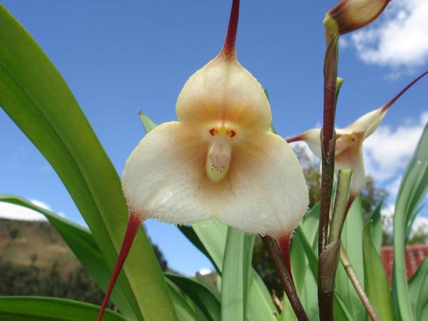 orchidee-tete-de-singe