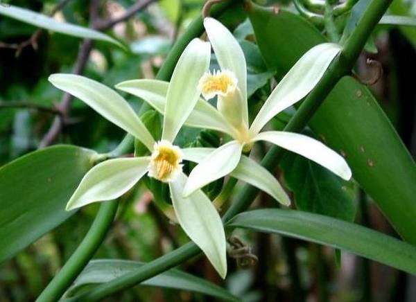 orchidee-vanille